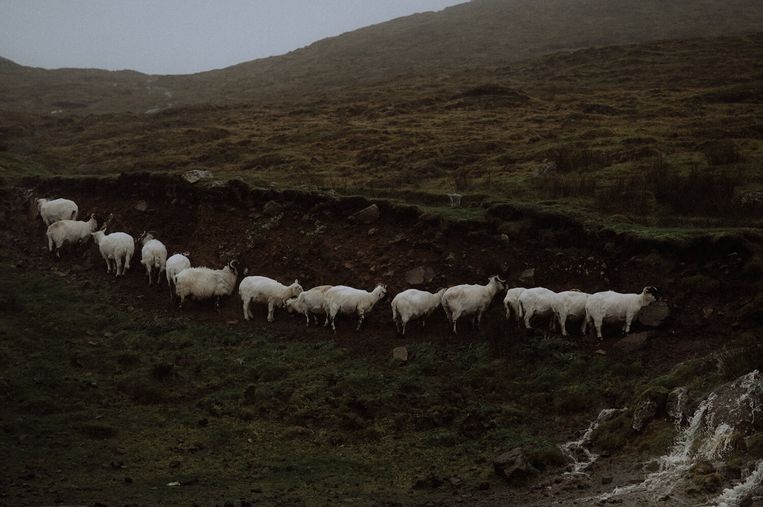 Straight line of sheep in the Scottish highlands on a rainy day.